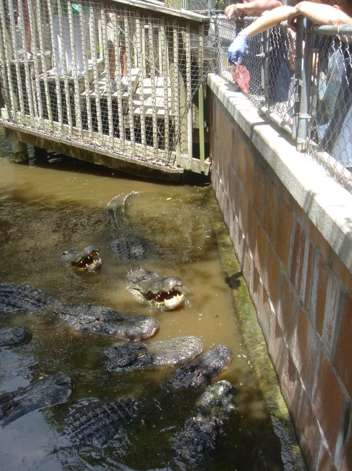 Vaca 08 Naples, FL - Wildlife Alligators