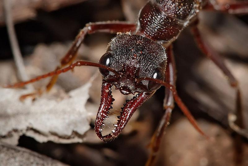 Pix - ants - Face - jaws