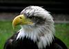 Animal_bald_eagle