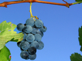 In_the_know_pix_vine_grapes