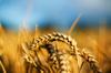 Object_wheat_close_up